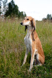 Sitting brown saluki Royalty Free Stock Photos