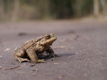 Sitting brown toad Stock Photos