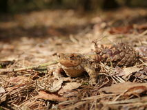 Sitting brown toad Stock Images
