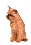Sitting Brussels Griffon puppy Royalty Free Stock Image