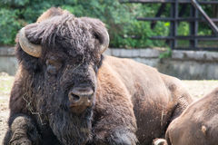 Sitting buffalo resting in a sunny day Stock Photography