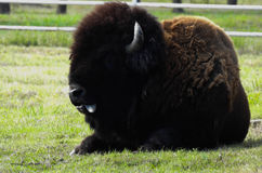 Sitting Buffalo. With tongue sticking out Royalty Free Stock Photography
