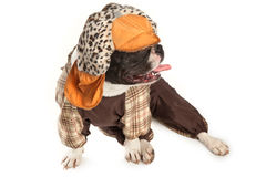 Sitting bulldog  in clothes Stock Image