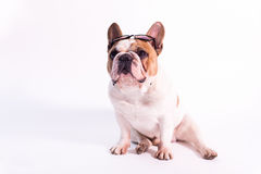 Sitting bulldog wearing sun glasses Stock Images