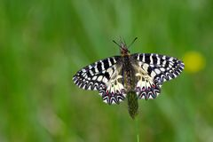 Sitting butterfly. butterfly on a sunny meadow. spring butterflies. southern festoon. copy spaces stock photo