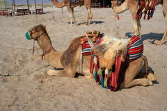 Sitting camel. Waiting a rider Royalty Free Stock Image