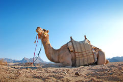 Sitting camel in the desert Stock Photos