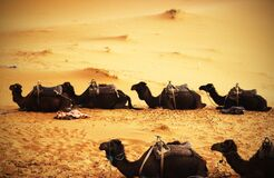 Sitting Camels in a Desert Stock Photography