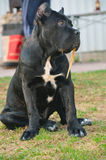 Sitting cane corso puppy Royalty Free Stock Photography