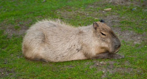 Sitting Capibara. Capibara (Hydrochoerus hydrochaeris) sitting on green grass - the largest living rodent in the world Royalty Free Stock Images