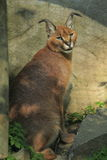 Sitting caracal Royalty Free Stock Photos