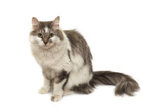 The sitting cat Royalty Free Stock Images