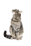 Sitting Cat Stock Photography