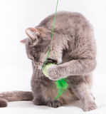 The sitting cat has snapped at a toy and a paw. White background, close up, small depth of sharpness Stock Images