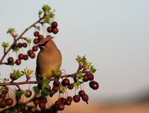 Sitting Cedar Waxwing Royalty Free Stock Images