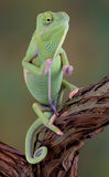Sitting Chameleon. A baby veiled chameleon is sitting upright on a vine Stock Photos