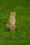 Sitting Cheetah Royalty Free Stock Image
