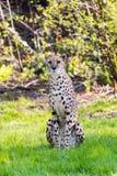 Sitting cheetah in the savannah Royalty Free Stock Photo