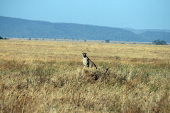 Sitting cheetah Stock Images