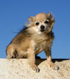 Sitting chihuahua. Beautiful female purebred chihuahua: cute miniature dog Stock Photography