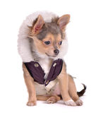 Sitting chihuahua puppy dressed in coat Royalty Free Stock Photos