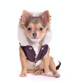 Sitting Chihuahua puppy dressed in coat Stock Images