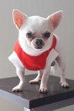Sitting Chihuahua in red shirt Royalty Free Stock Images