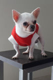 Sitting Chihuahua in red shirt Royalty Free Stock Photography