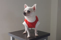 Sitting Chihuahua in red shirt Stock Images