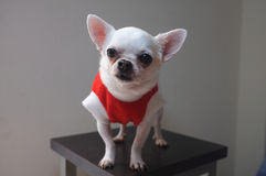 Sitting Chihuahua in red shirt Stock Image