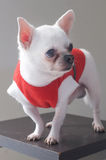Sitting Chihuahua in red shirt Stock Photo