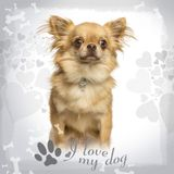 Sitting Chihuahua wearing a fancy collar, on designed background. 2 years old stock images