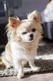 Sitting chihuahua winks Royalty Free Stock Photography