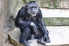 A sitting Chimpanzee. A Chimpanzee resting in the open stock photography