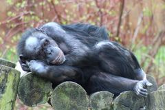A sitting Chimpanzee. A Chimpanzee resting in the open royalty free stock photos