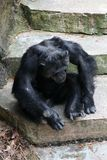 A sitting Chimpanzee. A Chimpanzee resting in the open royalty free stock images