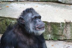 A sitting Chimpanzee. A Chimpanzee resting in the open stock image