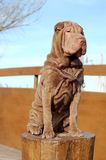 Sitting Chocolate young sharpei female. Chocolate coloured traditional typed sharpei female with horse coat sitting Royalty Free Stock Images