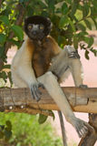 Sitting Crowned Sifaka. Sitting wild Crowned Sifaka in Madagascar Royalty Free Stock Photography