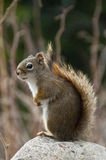 Sitting cute squirrel Stock Photography