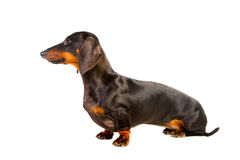 Sitting Dachshund Dog on isolated white Royalty Free Stock Images