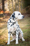 Sitting Dalmatian Royalty Free Stock Photography