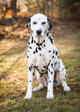 Sitting Dalmatian Stock Image