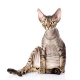 Sitting devon rex cat. looking at camera. Isolated on white back Royalty Free Stock Photo