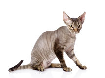 Sitting devon rex cat. looking at camera. isolated Royalty Free Stock Images