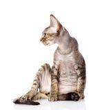 Sitting devon rex cat. looking left. Stock Photos