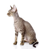 Sitting devon rex cat. looking left. Royalty Free Stock Photo