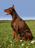 Sitting doberman Royalty Free Stock Photography