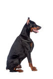 Sitting doberman dog Stock Photo