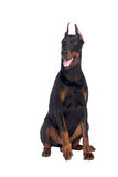 Sitting doberman dog isolated Stock Images